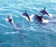 Dolphins swimming alongside